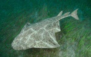 Angle Shark Scuba diving gran Canaria