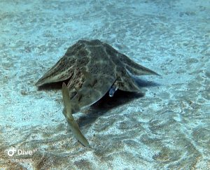 angel shark el cabron clear