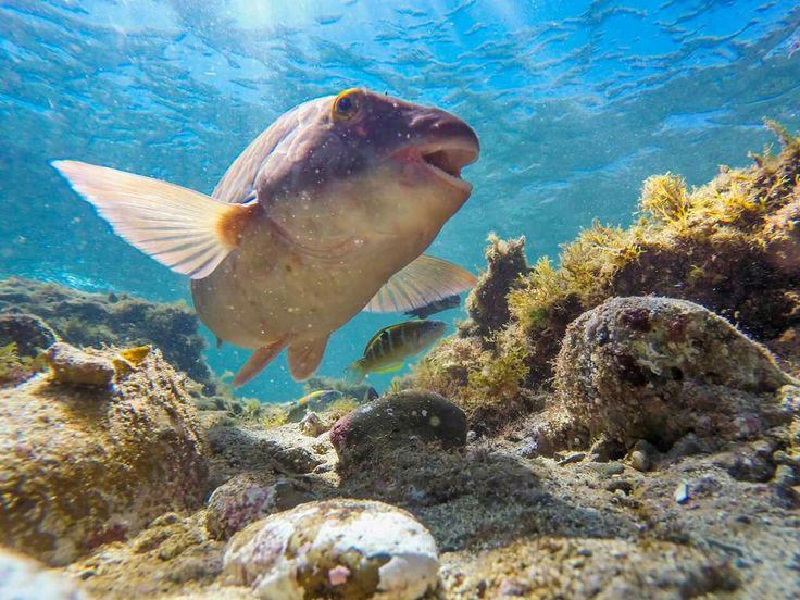 Atlantic parrot fish