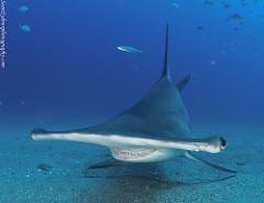 hammerhead sharks in Gran Canaria