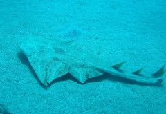angel shark swimming