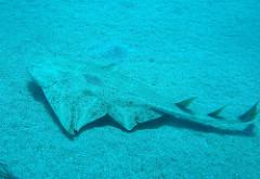angel shark in Gran Canaria swimming