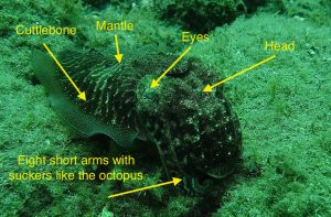 cuttlefish with labels of body parts