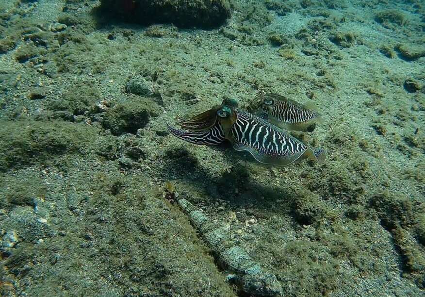 Two Cuttlefish swimming underwater
