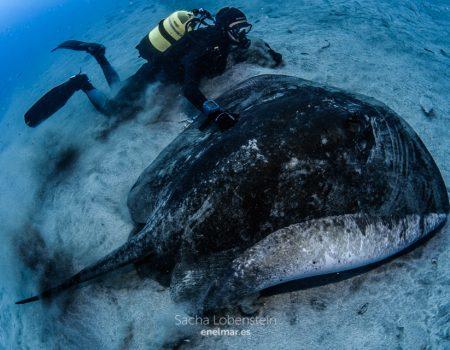 big stingray with diver